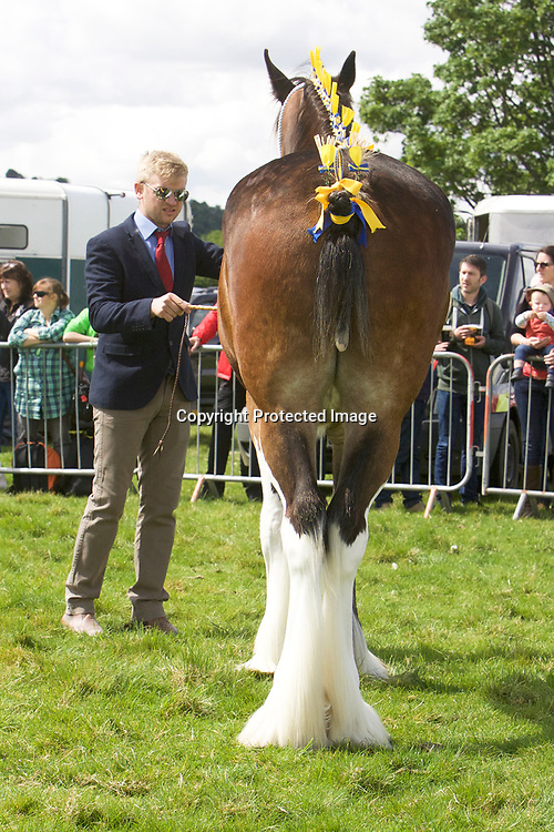Matthew Bedford's 2 year old ROSEMOORE SAPPHIRE<br /> Sire  MOORES GAY EDWARD<br /> Winner 2 year old Gelding or Filly<br /> Reserve Shire Champion