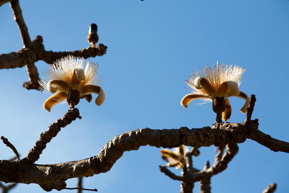 Nova Ponte_MG, Brasil...Arvore florida em Nova Ponte, Minas Gerais...A flowering tree in Nova Ponte, Minas Gerais...Foto: LEO DRUMOND / NITRO