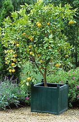 Lemon tree in a wooden planter