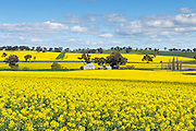 barn and silos in a field of flowering canola crop under blue sky and cumulus cloud at Woodstock, New South Wales, Australia. <br />