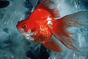 AQUACULTURE Exotic Ryukan Goldfish from Japan