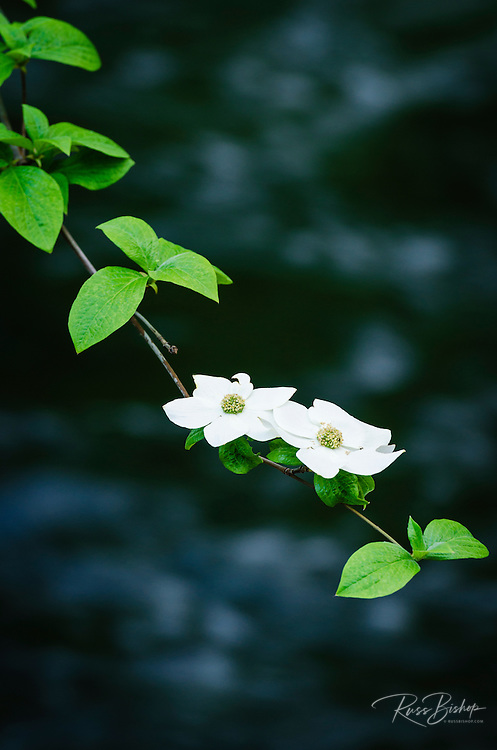 Mountain Dogwood (Cornus nuttallii) above the Merced River,  Yosemite National Park, California USA