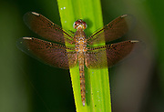 Red Grasshawk (Neurothemis fluctuans) from Sabah, Borneo.