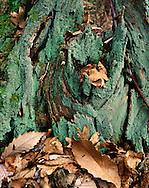 Old Stump, Hocking Hills Region, Ohio