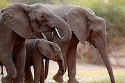 Elephants drink from the Chongwe River..Lower Zambezi National Park, Zambia, Africa.