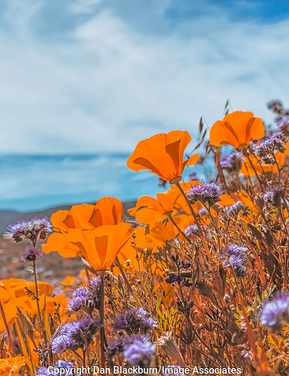 California Poppies Blooming in the Antelope Valley