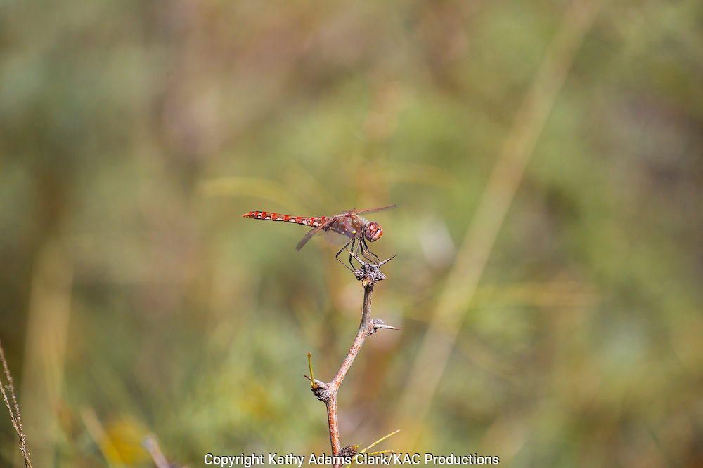 Variegated Meadowhawk; Sympetrum corruptum perching on twig at Dugout Wells in Big Bend National Park, Texas in late summer.