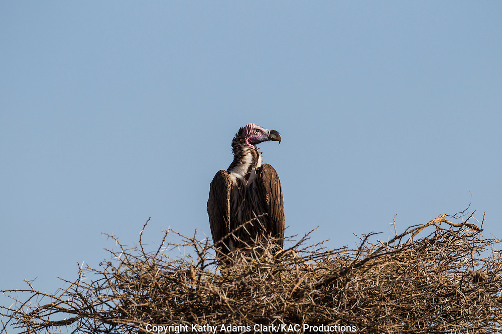 White-backed vulture, Gyps africanus, perched on a nest or roost made of thorny branches, Ngorongoro Conservation Area, Tanzania, Africa.