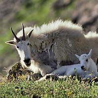 Mountain goat nanny and kid. Glacier National Park, Montana.