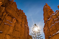 The sun shines through a pine tree along the Navajo Loop trail in Bryce Canyon National Park in Winter.
