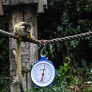 Squirrel monkey Annual weigh in at ZSL London Zoo on 23 August 2018, London, UK