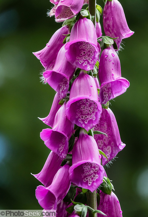 """Common Foxglove (Digitalis purpure, in the Plantaginaceae family) flowers bloom on a tall spike in Washington state. The Latin meaning of """"Digitalis"""" refers to the """"finger-like"""" ease of fitting the flower over your fingertip. Digitalis also refers to cardiac glycoside drugs (such as digoxin) extracted from plants of genus Digitalis. Wallace Falls State Park offers good hiking and camping beneath mossy trees on the rushing Wallace River near the town of Gold Bar, Washington, USA."""