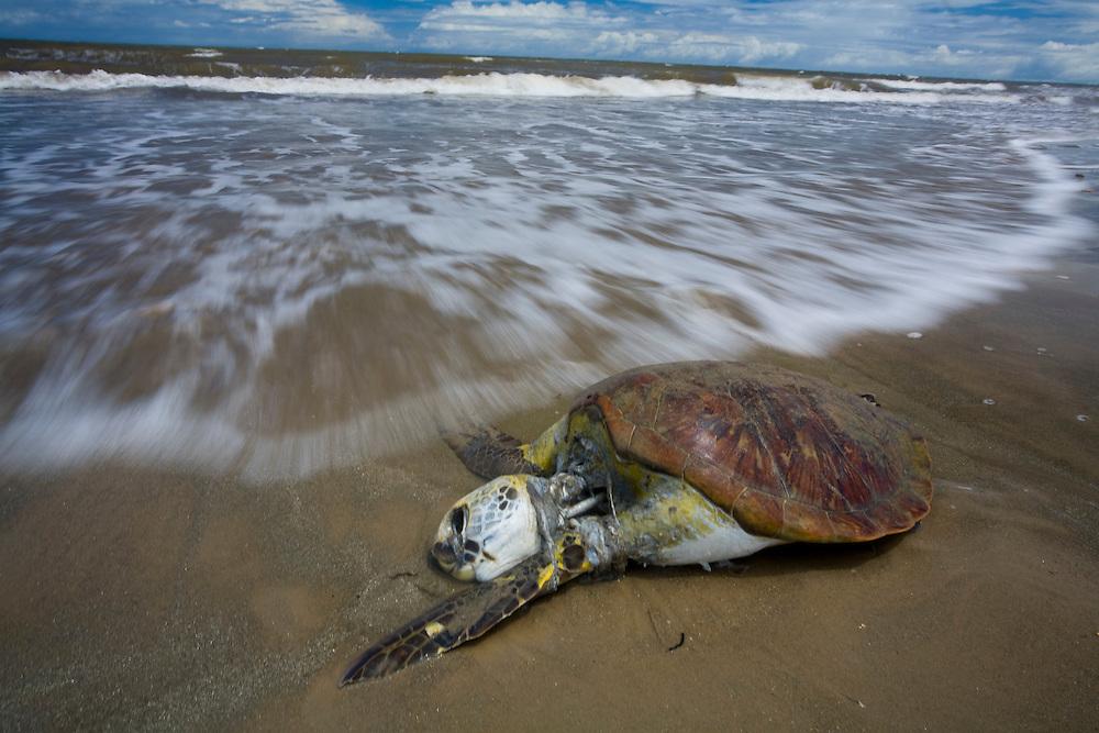 Santa Cruz de Cabralia_BA, Brasil...Tartaruga morta na praia de Santa Cruz de Cabralia...A dead turtle in the beach in Santa Cruz de Cabralia...Foto: LEO DRUMOND / NITRO