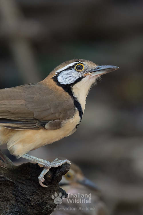 The greater necklaced laughing thrush (Garrulax pectoralis) is a species of bird in the family Leiothrichidae.