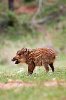 Iberian Wild Boar Piglet (Sus scrofa baeticus), Cazorla National Park, Jaen Province, Andalucia, Spain