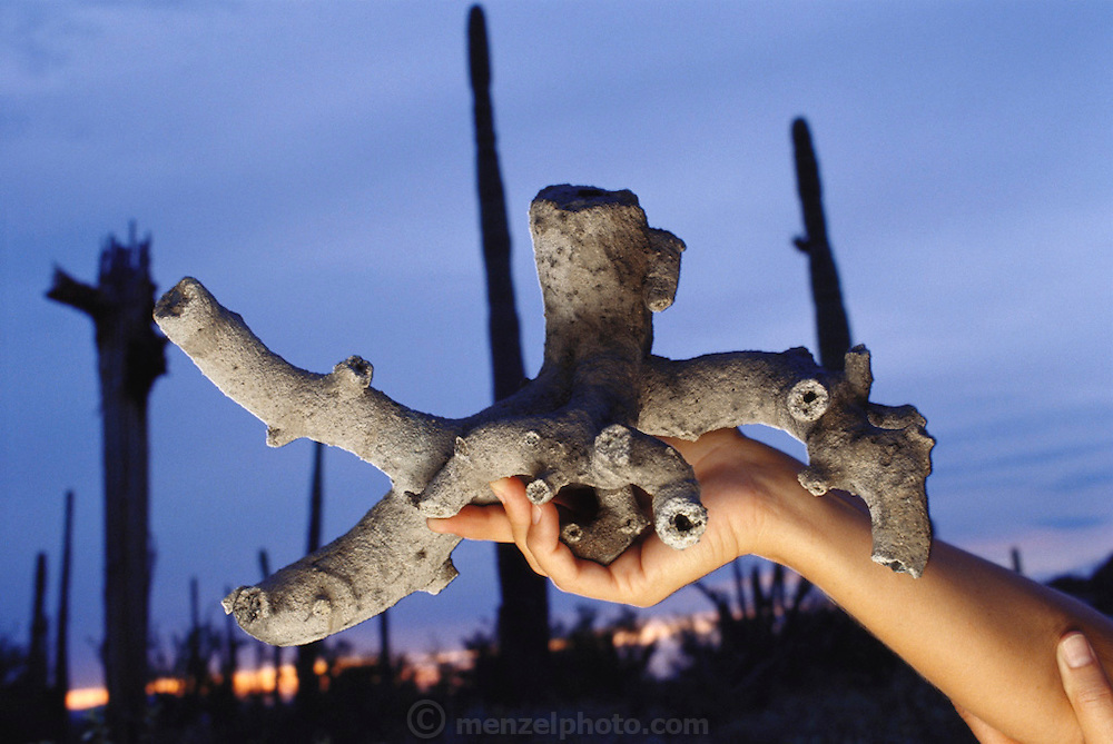 Fulgurite from the Arizona-Sonora Desert Museum in Tucson, Arizona. A fulgurite is formed when lightning penetrates the sandy soil, often fusing it into the shape of the electricity's path. A witness who saw lightning strike the ground in Avra Valley, Arizona dug up this fulgurite. Held by Anna M. Domitrovic, Assistant Curator of Earth Sciences at the Desert Museum. (1992)