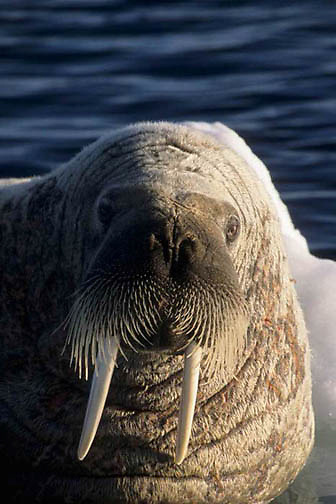 Walrus, (Odobenus rosmarus) Male rests on iceberg. Baffin Island. Canada.