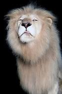 """""""White"""" lion (Panthera leo). """"Tonga"""", The White Lion King of the Circus Krone. At lions (including tigers) occasionally occurs on the color mutation leucism. The skin has no dye-forming cells (melanocytes), the fur is white and the pink skin. (When albinism melanocytes are present, but they can not form melanin, the pigment). 1938, in Timbavati, Africa, white lions first sighted. The last white lion has been spotted in the wild 1994th. Worldwide there are only 80 white lions in captivity. White animals have always had a fascination on people. They are considered sacred, are lucky charm, signify divinity and innocent and are a good omen. Photographed at the Circus Krone in Wuerzburg. / """"Weisser"""" Loewe (Panthera leo). """"Tonga"""", der Weisse Koenig der Loewen des Zirkus Krone. Bei Loewen (auch bei Tigern) tritt gelegentlich die Farbmutation Leuzismus auf. Die Haut besitzt keine farbstoffbildenden Zellen (Melanozyten), das Fell ist weiss und die Haut rosa. (Beim Albinismus sind Melanozyten vorhanden, diese koennen aber nicht den Farbstoff Melanin bilden). 1938 wurden in Timbawati, Afrika, erstmalig weisse Loewen gesichtet. Der letzte weisse Loewe in der Wildnis wurde 1994 gesichtet.  Weltweit gibt es etwas nur 80 weisse Loewen in menschlicher Obhut. Weisse Tiere ueben seit jeher eine Faszination auf den Menschen aus. Sie gelten als heilig, sind Gluecksbringer, stehen fuer das Goettliche und Unschuldige und sind ein gutes Omen. Fotografiert im Zirkus Krone in Wuerzburg."""