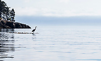 A Great Blue Heron hunting on a bunch of bull kelp off Orcas Island in Rosario Strait, Washington, USA.