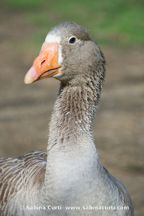Goose, Moon in the Pond Farm, Sheffield, MA