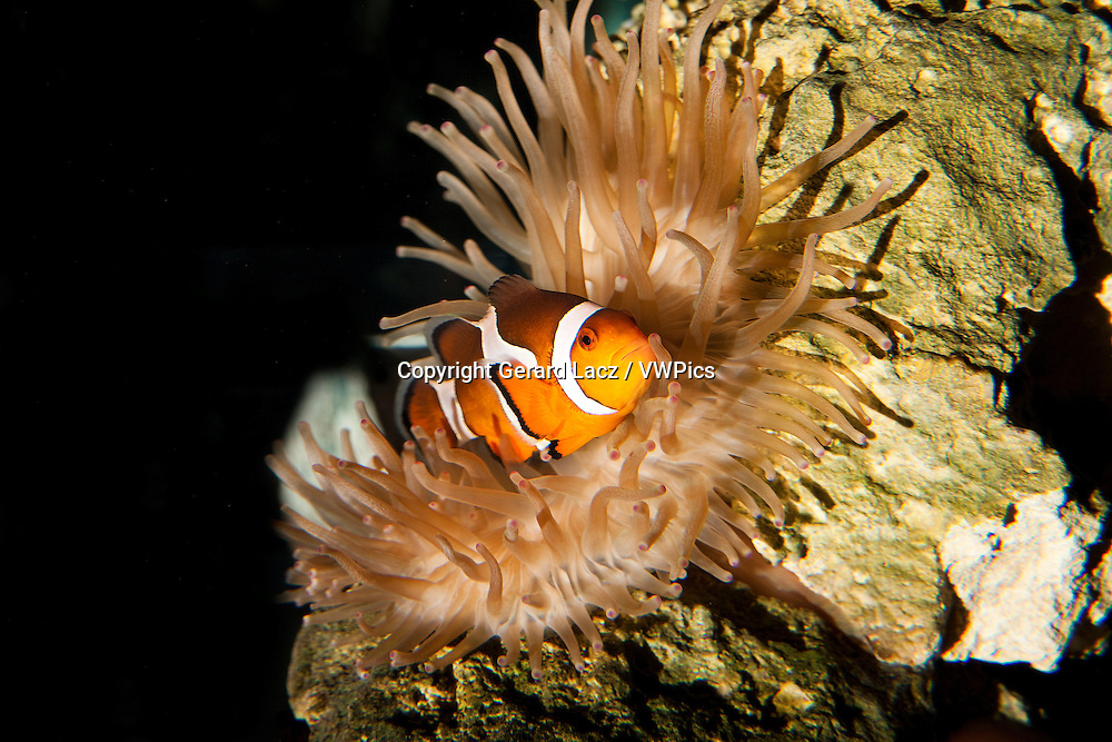 Ocellaris Clownfish, amphiprion ocellaris, Adult standing in Sea Anemone, South Africa