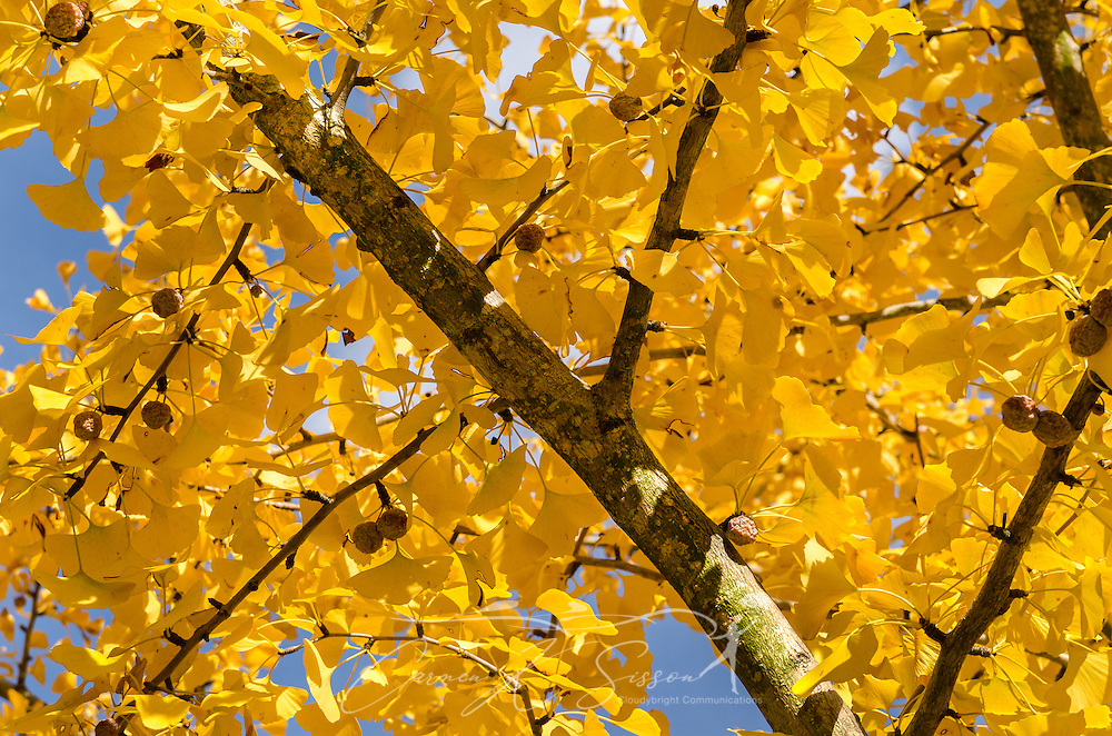 A ginkgo biloba tree displays a canopy of yellow leaves, November 13, 2011, in Columbus, Mississippi. The ginkgo, also known as the maidenhair tree, is a native of China. Its colorful autumn leaves typically last from one day to two weeks. The female gingko biloba produces a foul-smelling, fruit-like product which encases the nut. (Photo by Carmen K. Sisson/Cloudybright)