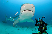 A tiger shark, Galeocerdo cuvier, swims offshore Jupiter, Florida, United States