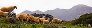Sheep grazing on the island of Kolokytha in Elounda, Crete.