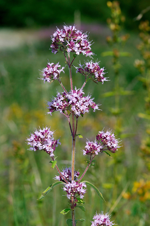 WILD MARJORAM Origanum vulgare (Lamiaceae) Height to 50cm. Downy and tufted perennial. The plant (mainly the leaves) has a pleasantly aromatic smell, familiar to lovers of culinary herbs and the stems are often reddish. Grows in dry grassland on calcareous soils. FLOWERS are maroon when in bud but 6-8mm long and pinkish purple when flowering; borne in dense, terminal clusters that also include purplish bracts (Jul-Sep). FRUITS are nutlets. LEAVES are oval, pointed and borne in opposite pairs. STATUS-Widespread and locally common the S but scarce elsewhere.