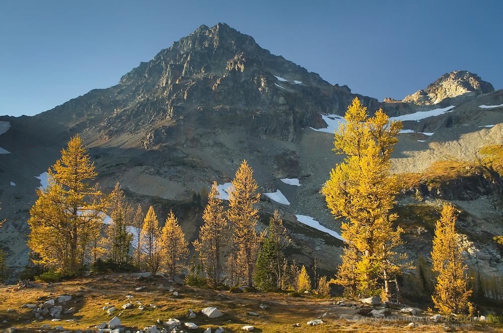 Subalpine Larch (Larix lyallii), Black Peak, North Cascades Washington