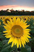 The last rays of the sun light up a perfect sunflower bloom, Centerville, Ohio, USA