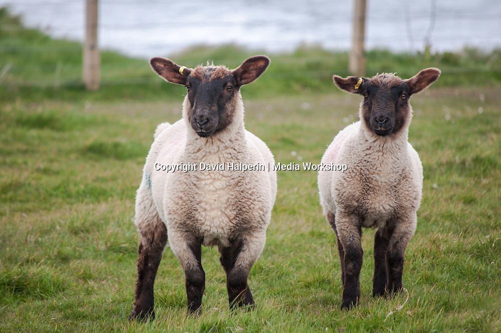 Two black-faced lambs facing camera