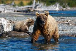 North American brown bear /  coastal grizzly bear (Ursus arctos horribilis) sow and cub along the banks of Skilak Lake  / the Kenai River, Kenai National Wildlife Refuge, Alaska, United States of America