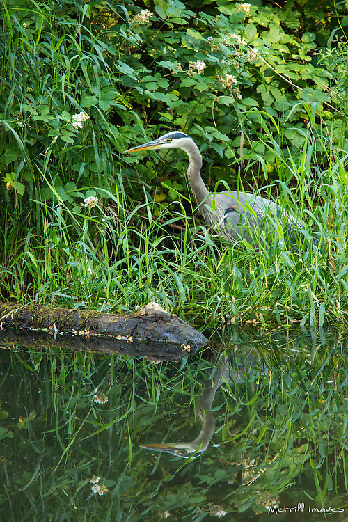 United States, Washington, Kirkland, Great Blue Heron in Juanita Beach Park