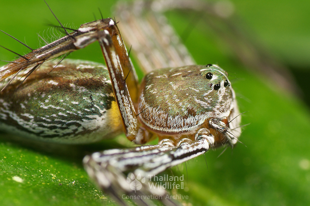 An Oxyopes sp. lynx spider (Oxyopidae).