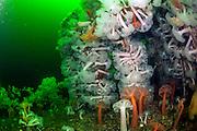 Giant Plumose Anemones, Metridium giganteum, cover the superstructure of the HMS Saskatchewan offshore Nanaimo, Vancouver Island, British Columbia, Canada.