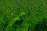 Surreal digital painting Western Sword Fern, (Polystichum munitum) Kitsap Peninsula, Puget Sound, Washington state, USA
