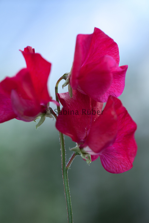 Lathyrus odoratus 'Barry Dare' - sweet pea
