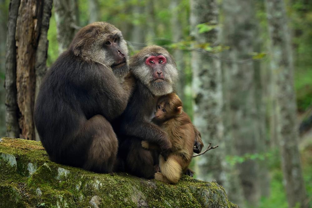 Tibetan Macaque, Macaca thibetana, in Tangjiahe Nature Reserve, Sichuan Province; China