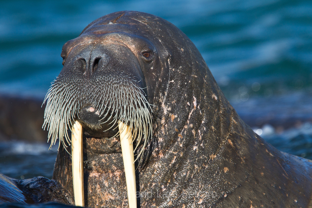 A curious male Walrus checks out our Zodiac off the coast of Svalbard.