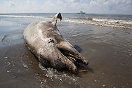 8/7/2010  Dead dolphin washed up on beach in Plaquemines Parish along with tar balls over 100 days after the BP oil disaster began.The damage caused by the BP oil spill in the GUlf of Mexico is the worst in American History. The environmental and economic impact has yet to be determined.