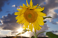 I positioned the sun just right to get a picture of this sunflower sunset.   The suns rays peeked out from behind a cloud making this an inspirational image.
