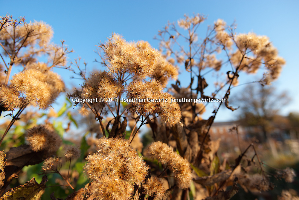 Fluffy Seed Pods on a bush in an autumn garden. WATERMARKS WILL NOT APPEAR ON PRINTS OR LICENSED IMAGES.