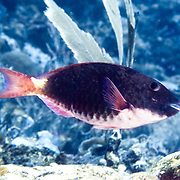 Saddled Parrotfish swim about reefs and adjacent areas scrapping filamenmtous algae from hard substrates in St. Vincent to Tobago and Brazil; picture taken Tobago.