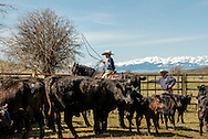 Cowboys, kids, roping, grandfather gives advice, branding, Lazy SR Ranch, Wilsall, Montana