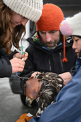Steve Lewis, Raptor Management Coordinator, U.S. Fish & Wildlife Service (center), takes blood samples from a bald eagle (Haliaeetus leucocephalus) captured in the Alaska Chilkat Bald Eagle Preserve. Assisting Lewis is Rachel Wheat, a graduate student at the University of California Santa Cruz (left) and Yiwei Wang, graduate student, University of California Santa Cruz (right). Blood samples are taken of the eagles to study for various things including chemical contaminants such as mercury. Wheat is conducting a bald eagle migration study of eagles that visit the Chilkat River for her doctoral dissertation. She hopes to learn how closely eagles track salmon availability across time and space. The bald eagles are being tracked using solar-powered GPS satellite transmitters (also known as a PTT - platform transmitter terminal) that attach to the backs of the eagles using a lightweight harness. The latest location of this eagle can be found here: http://www.ecologyalaska.com/eagle-tracker/4p/ . During late fall, bald eagles congregate along the Chilkat River to feed on salmon. This gathering of bald eagles in the Alaska Chilkat Bald Eagle Preserve is believed to be one of the largest gatherings of bald eagles in the world.