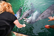 feeding time at Dolphin Reef Beach, Eilat, Israel. Common Bottlenose Dolphins (Tursiops truncatus).