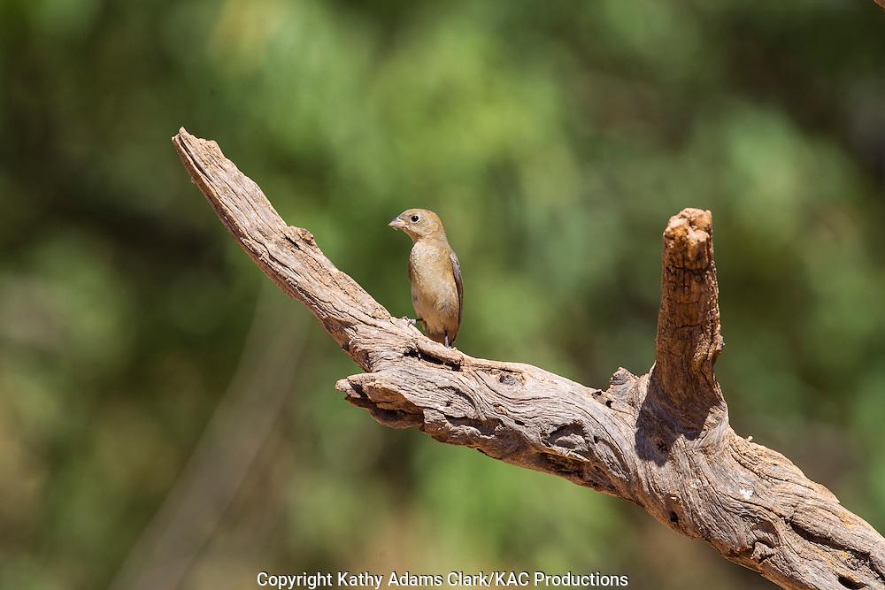 Varied bunting, female, Arizona; Passerina versicolor; Sonoran Desert; Southern; Summer;