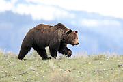 Grizzly bear boar in open habitat