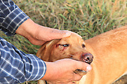 A hunter examines cuts and scratches on his Yellow Labrador retriever during a pheasant hunt in South Dakota